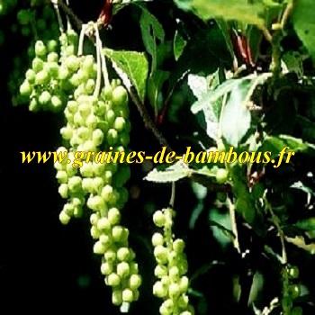 schisandra-chinensis-baies-aux-5-saveurs-www-graines-de-bambous-fr.jpg