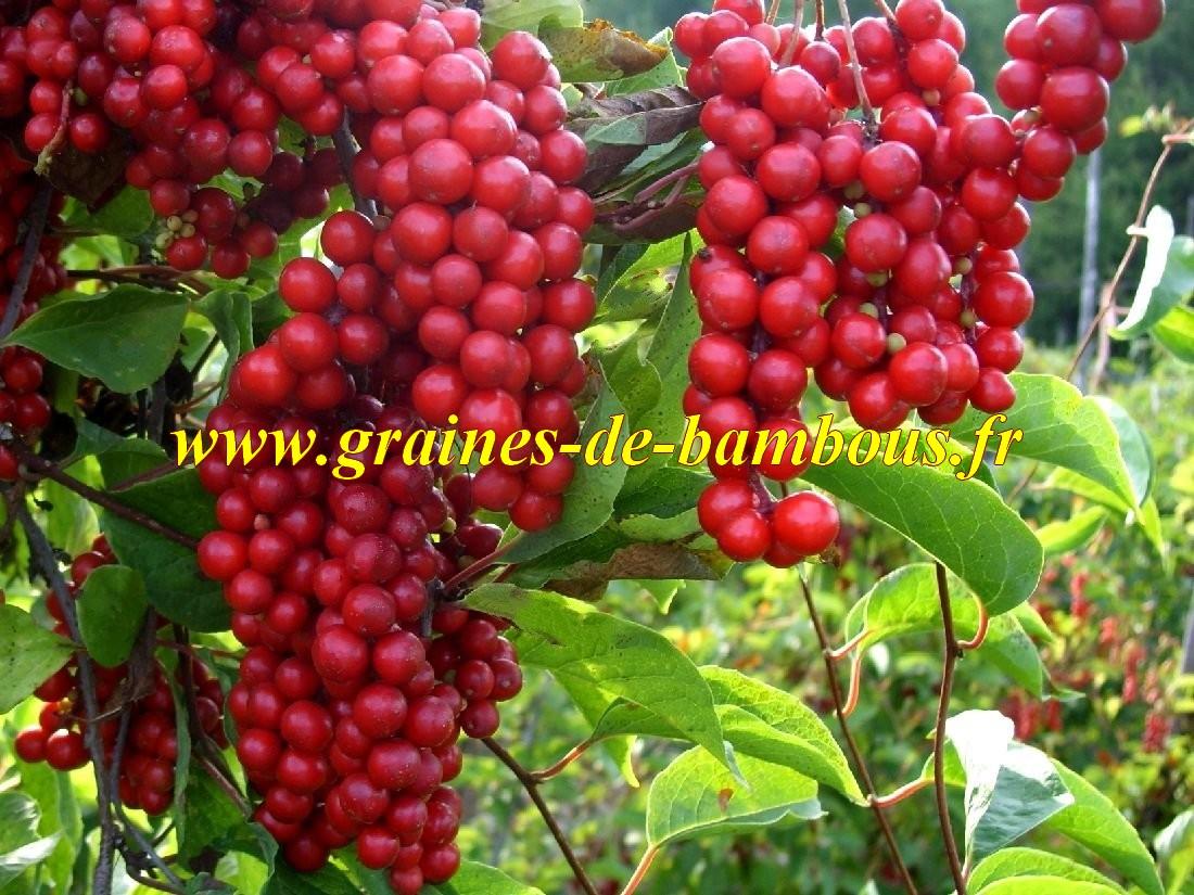 Schisandra chinensis graines baie aux cinq saveurs