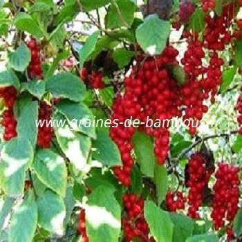 Baie aux 5 saveurs - schisandra chinensis réf.380
