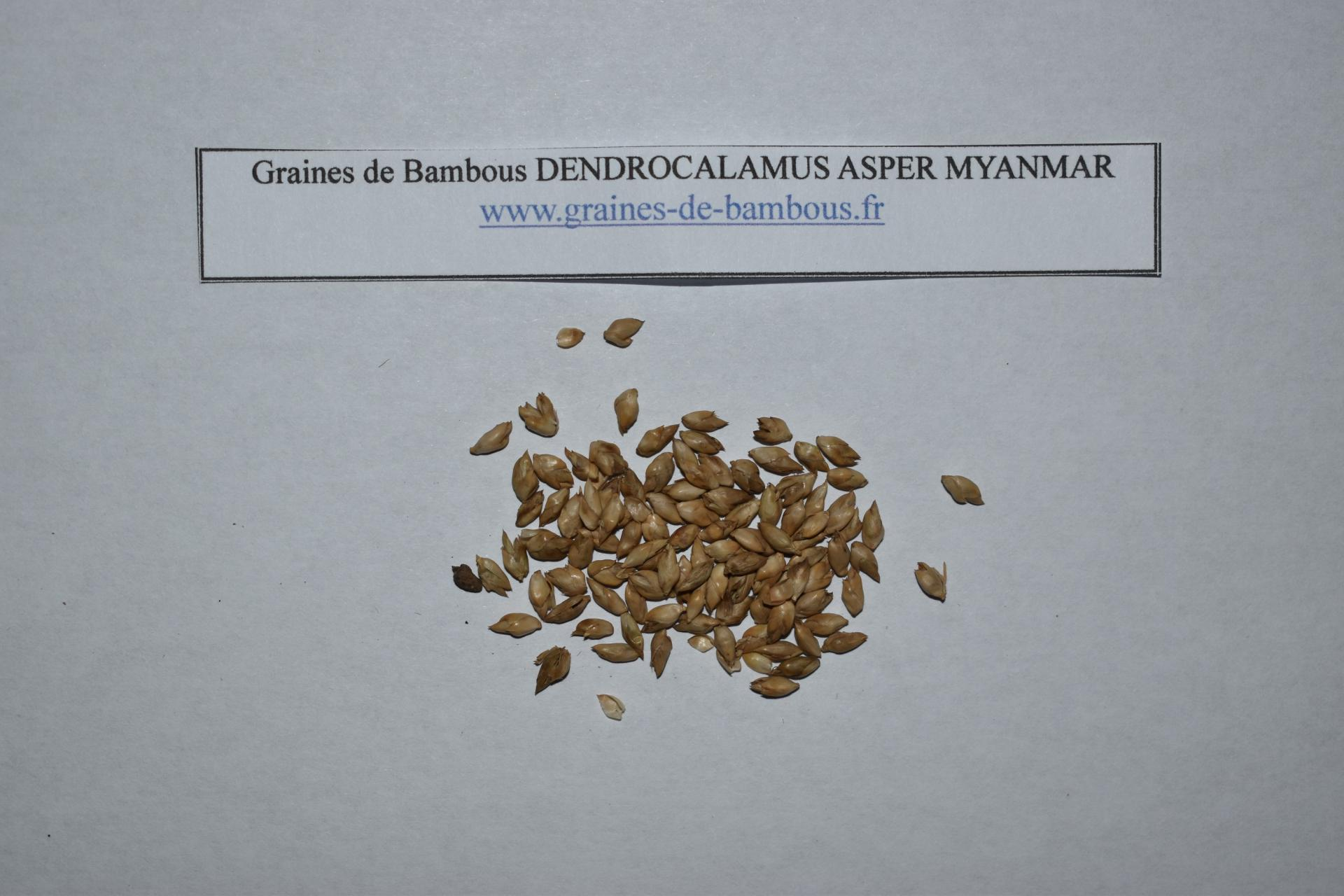 Seeds dendrocalamus myanmar graines de bambous fr