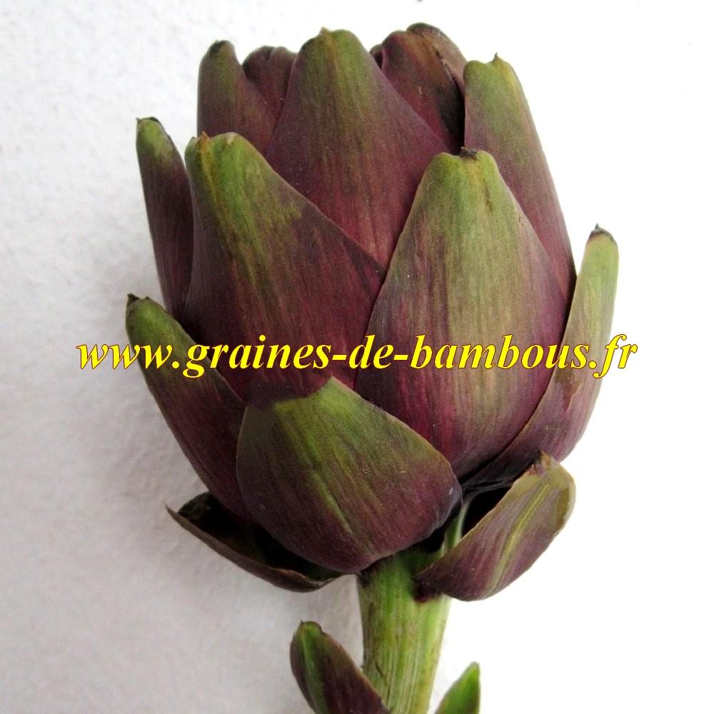 Semences artichaut violet de provence