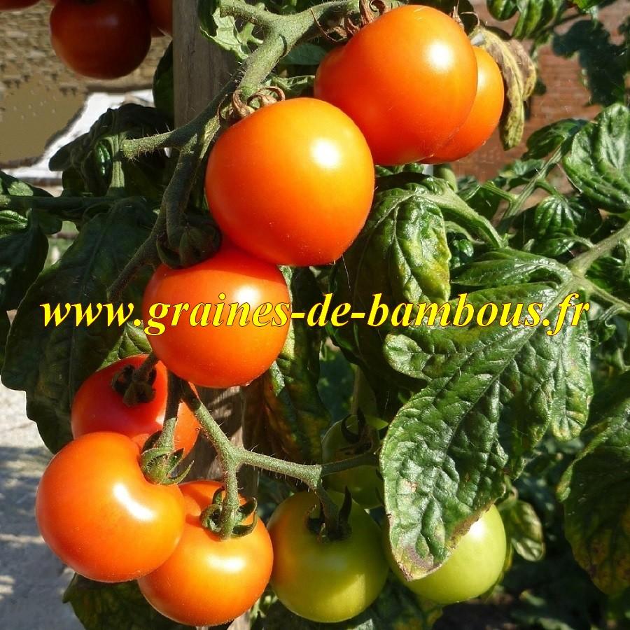 Semences de tomate figiel cerise orange