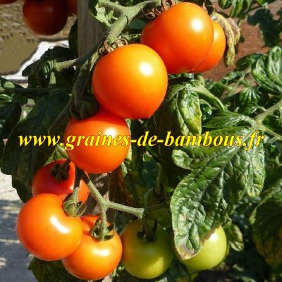 Tomate cerise orange Figiel 1000 graines