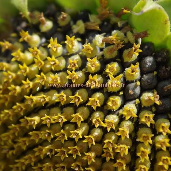 Semences et fleur tournesol geant