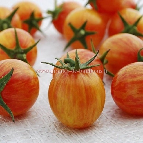 Semences tomate golden bumble bee
