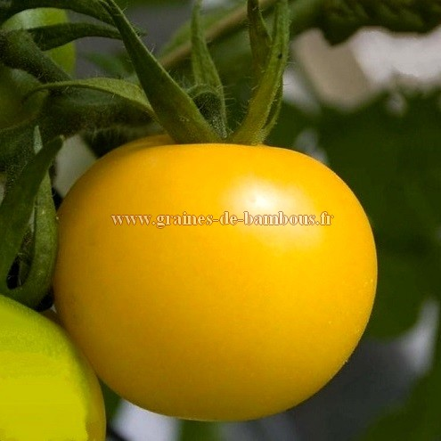 Semences tomate goldene konigin