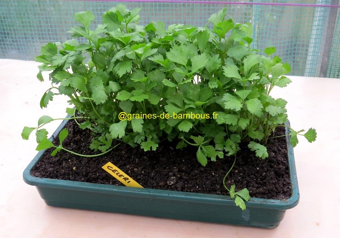 Semis celeri de prague