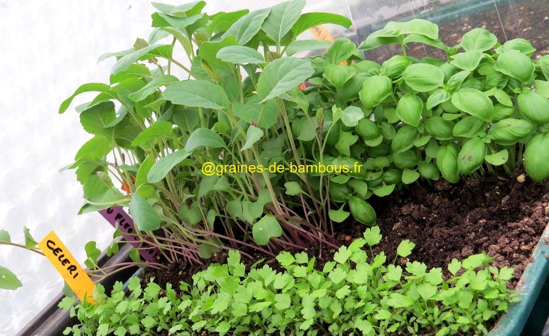 Semis celeri geant de prague chou fleur violet et basilic grand vert