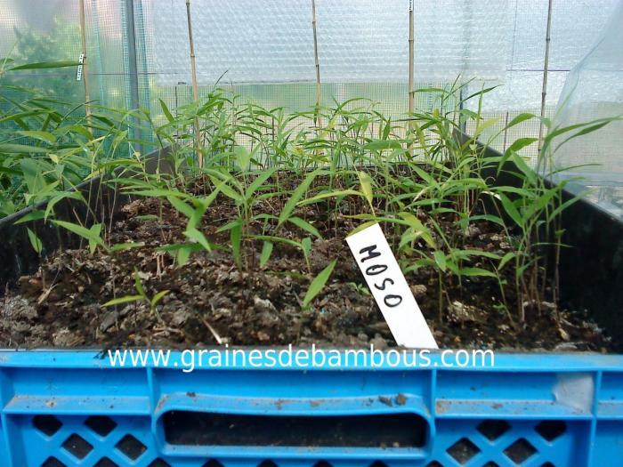 Semis de bambous moso 1 1