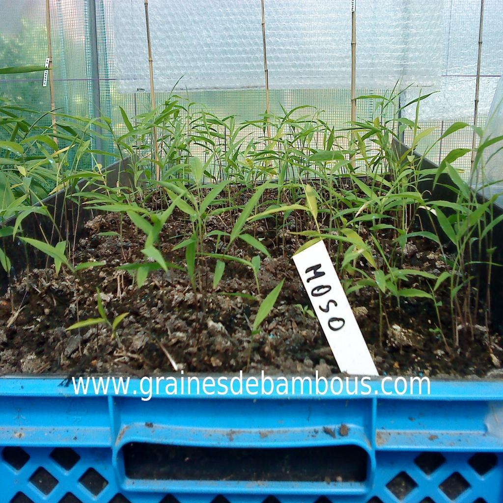 semis-de-bambous-moso.jpg