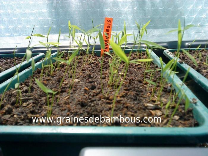 Semis de fargesia yunnanensis 22