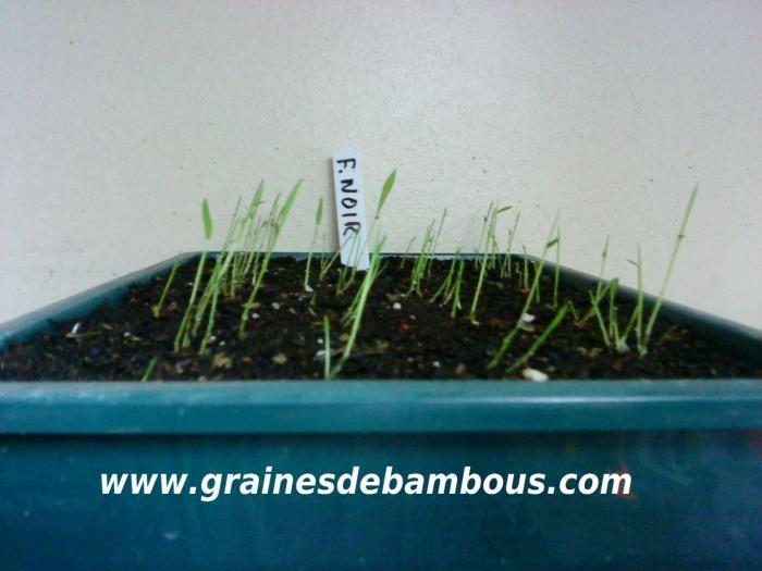 Semis du bambou noir albocerea black 102