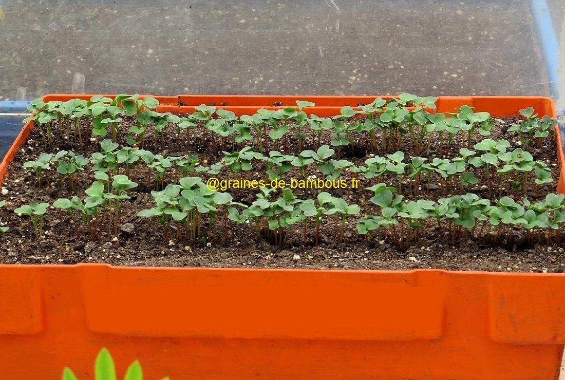 Semis en caissette radis flamboyant