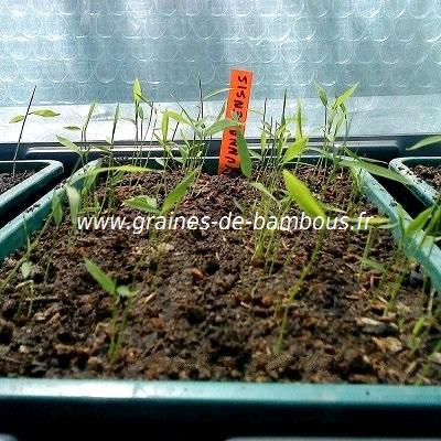 Semis fargesia sp yunnanensis