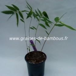 Semis bambou dendrocalamus giganteus