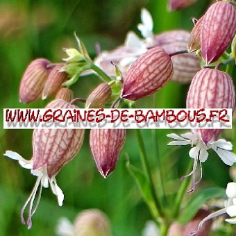 Silene enfle 10000 graines