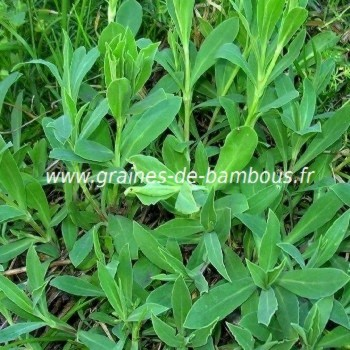 Silene enfle feuilles comestibles