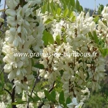 sophora-japonica-fleurs-arbre-des-pagodes-www-graines-de-bambous-fr.jpg