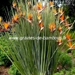 Strelitzia juncea www graines de bambous fr