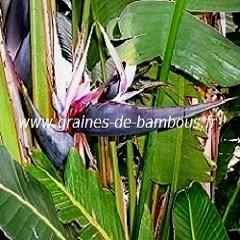 Oiseau de Paradis Blanc réf.04
