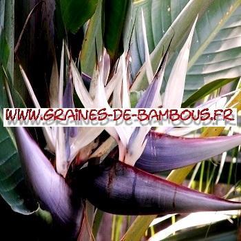 Strelitzia nicolaï Oiseau de Paradis Blanc 100 graines