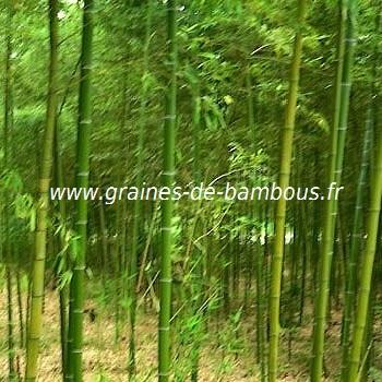 Sulphurea viridis bambou
