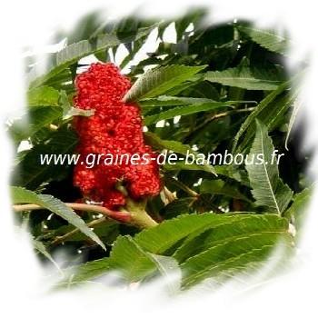 sumac-de-virginie-fleur-www-graines-de-bambous-fr-1.jpg