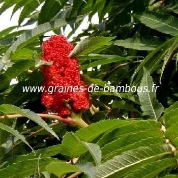 sumac-de-virginie-fleur-www-graines-de-bambous-fr.jpg
