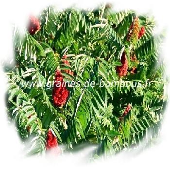 sumac-de-virginie-rhus-typhina-www-graines-de-bambous-fr-1.jpg