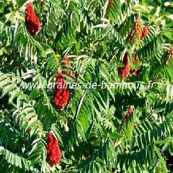 sumac-de-virginie-rhus-typhina-www-graines-de-bambous-fr.jpg