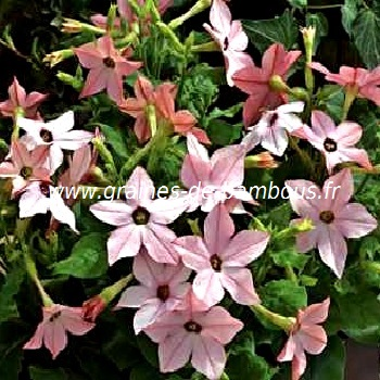 tabac-ornemental-nicotiana-tabacum-www-graines-de-bambous-fr.jpg