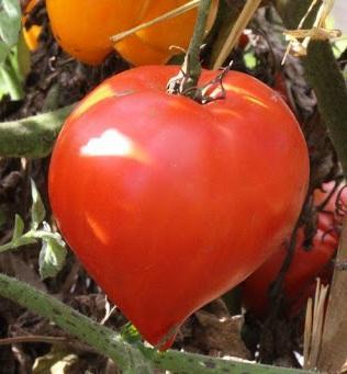 Tomate Têton de Vénus réf.37
