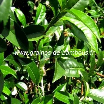 Theier arbre a the the vert feuilles