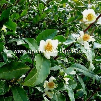 Theier camellia sinensis arbre a the graines