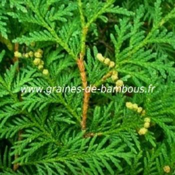 Thuya orientalis a feuilles plates graines