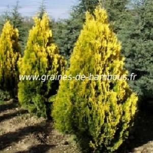 Thuya orientalis aurea graines de bambous fr