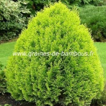 Thuya orientalis aurea nana graines