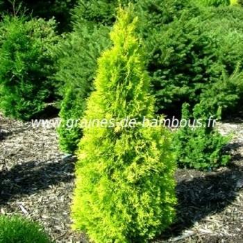 Thuya orientalis aurea