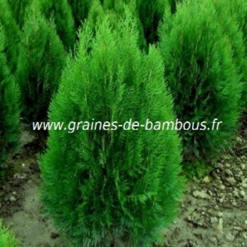 Thuya orientalis graines de bambous fr