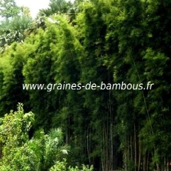 Thyrsostachys oliveri 20 graines
