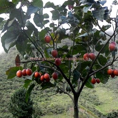 Tomate arbre arbol graines de bambous fr