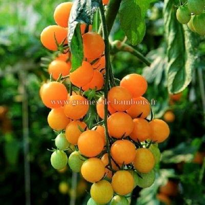 Tomate cerise orange Figiel réf.461