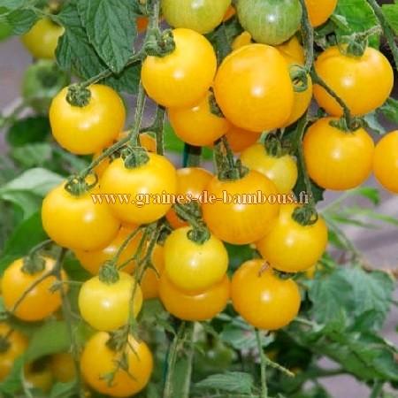 Tomate cerise golden cherry graines