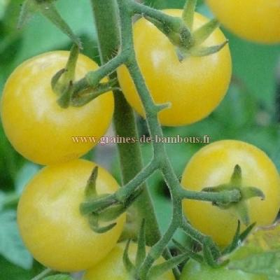 Tomate cerise Lemon drop 1000 graines