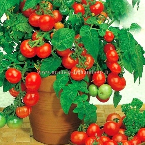 Tomate cerise rotkappchen