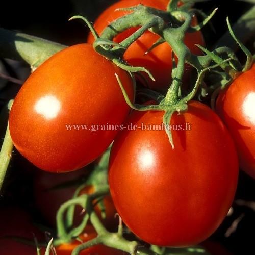 Tomate de berao graines