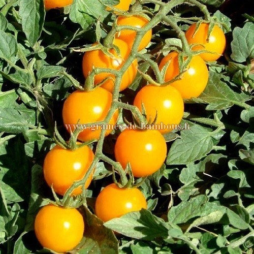 Tomate golden cherry