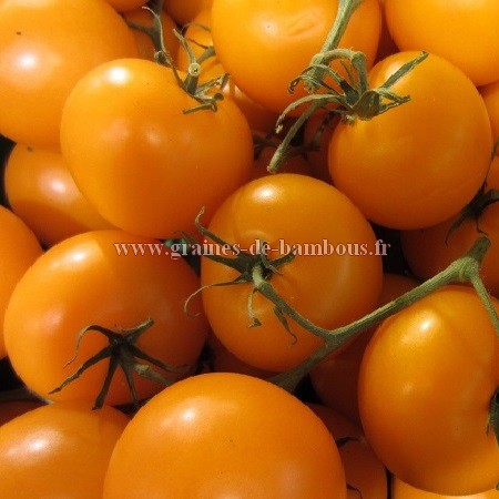 Tomate golden jubilee graines 1