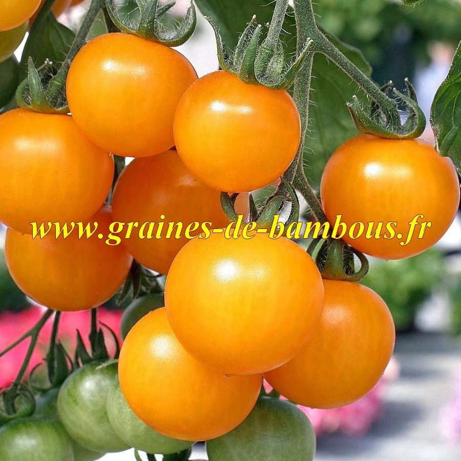 Tomate golden sunray graines