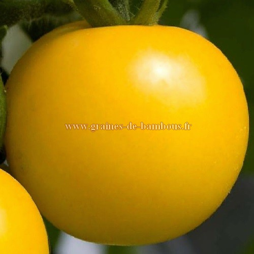 Tomate goldene konigin reine d or graines